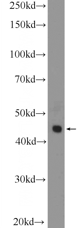 U-937 cells were subjected to SDS PAGE followed by western blot with Catalog No:110838(LGALS9, Galectin-9 Antibody) at dilution of 1:600