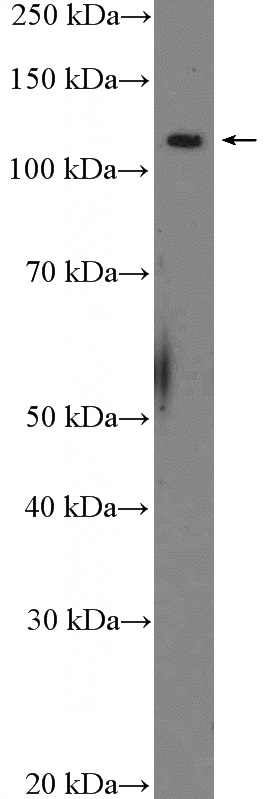 SH-SY5Y cells were subjected to SDS PAGE followed by western blot with Catalog No:113004(MYT1 Antibody) at dilution of 1:300