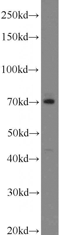 mouse lung tissue were subjected to SDS PAGE followed by western blot with Catalog No:112278(LAMP3 antibody) at dilution of 1:1000