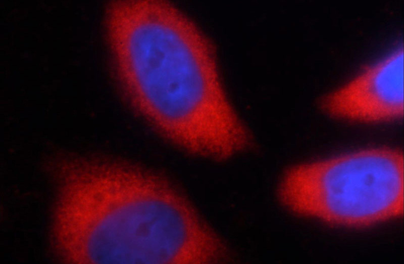 Immunofluorescent analysis of Ethacrynic acid treated HeLa cells using Catalog No:117316(GAPDH Antibody) at dilution of 1:50 and Rhodamine-labeled goat anti-mouse IgG (red).