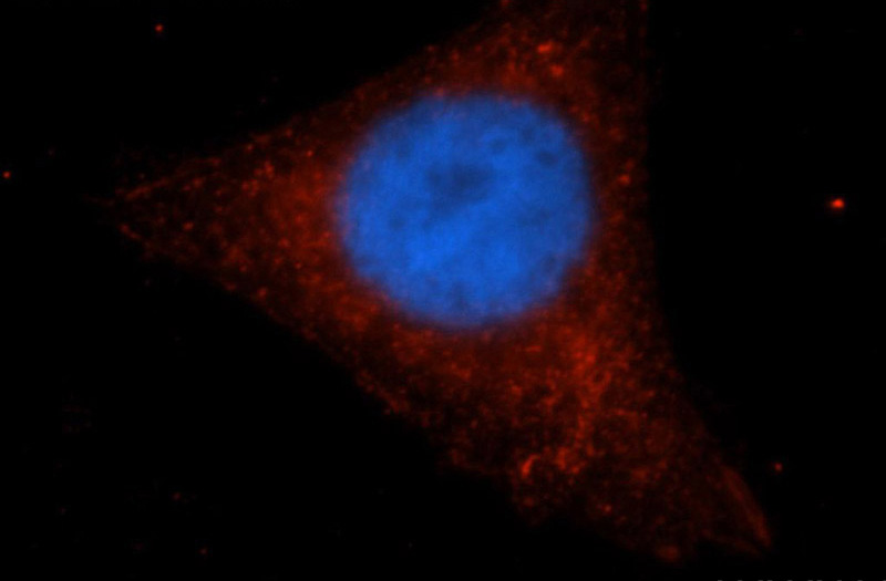 Immunofluorescent analysis of HepG2 cells, using IRF9 antibody Catalog No:111842 at 1:50 dilution and Rhodamine-labeled goat anti-rabbit IgG (red). Blue pseudocolor = DAPI (fluorescent DNA dye).