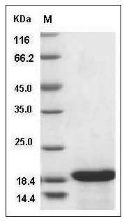 Canine IL-33 recombinant protein