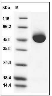 Human Prostatic Acid Phosphatase/ACPP (His Tag) recombinant protein