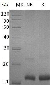 Mouse Ccl3/Mip1a/Scya3 (His tag) recombinant protein