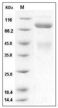 Human c-Met/HGFR (His Tag) recombinant protein