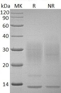 Human IL13/NC30 (His tag) recombinant protein