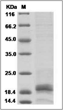 Mouse IFN gamma recombinant protein