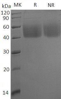 Human NCR3LG1/B7H6 (His tag) recombinant protein