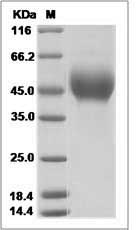 CD80 protein SDS-PAGE