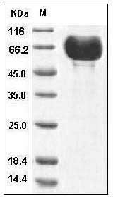 Human B7-DC/PD-L2/CD273 (His & Fc Tag) recombinant protein