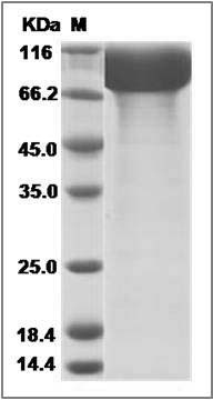 Rhesus CD10/Neprilysin (His Tag) recombinant protein