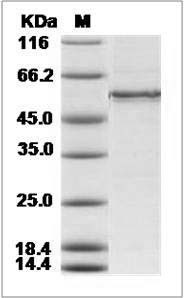 Human CDC2 & CCNE1 recombinant protein