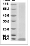 Mouse CXCL10 recombinant protein (C-His)