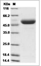 Rat CD4 (His Tag) recombinant protein