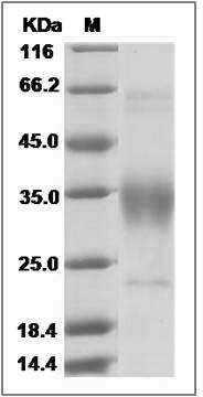 Human CD47 recombinant protein