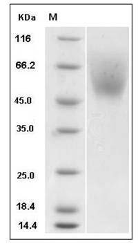 Mouse SIRP alpha/CD172a (His Tag) recombinant protein