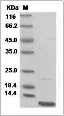 Mouse CXCL3 / GRO gamma (His Tag) recombinant protein