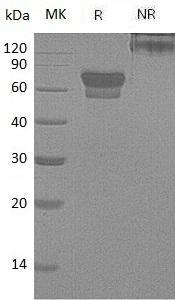 Mouse Pdcd1/Pd1 (Fc tag) recombinant protein