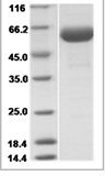 Mouse CD33 recombinant protein (C-cleavage)