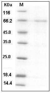 Human Lefty2 (Fc Tag) recombinant protein