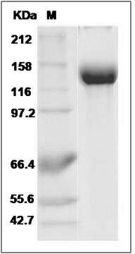 Mouse CD22 (Fc Tag) recombinant protein