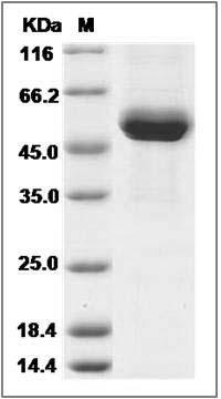 Rhesus CD4 (His Tag) recombinant protein