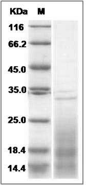 Mouse IL13 / ALRH recombinant protein
