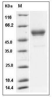 Mouse IFN gamma (Fc Tag) recombinant protein