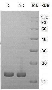 Mouse Il1rn/Il-1ra recombinant protein