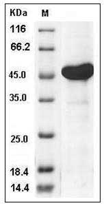Human AK4 / Adenylate Kinase 4 / AK3L1 (His & GST Tag) recombinant protein