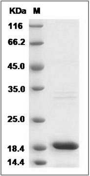 Mouse IL-18 recombinant protein