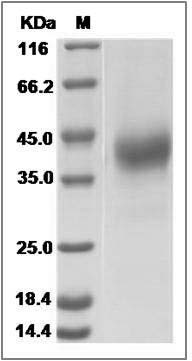 Canine CD2 (His Tag) recombinant protein