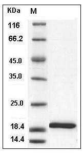 Mouse IL-1 beta recombinant protein