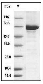 Mouse C-Src Kinase / CSK (His & GST Tag) recombinant protein