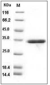 Human IL-1 beta (pro form, His Tag) recombinant protein