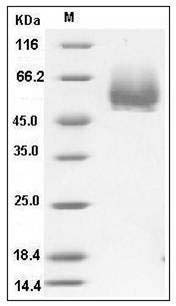 Mouse CD4 (His Tag) recombinant protein