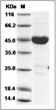 Mouse CSK / C-Src kinase Protein SDS-PAGE