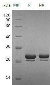 Mouse Fgf17 (His tag) recombinant protein