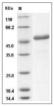 Rhesus Ephrin-A5/EFNA5 (Fc Tag) recombinant protein