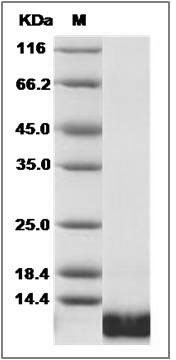 Canine IL-8/CXCL8 recombinant protein
