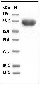 Human PD1/PDCD1/CD279 (His & Fc Tag) recombinant protein